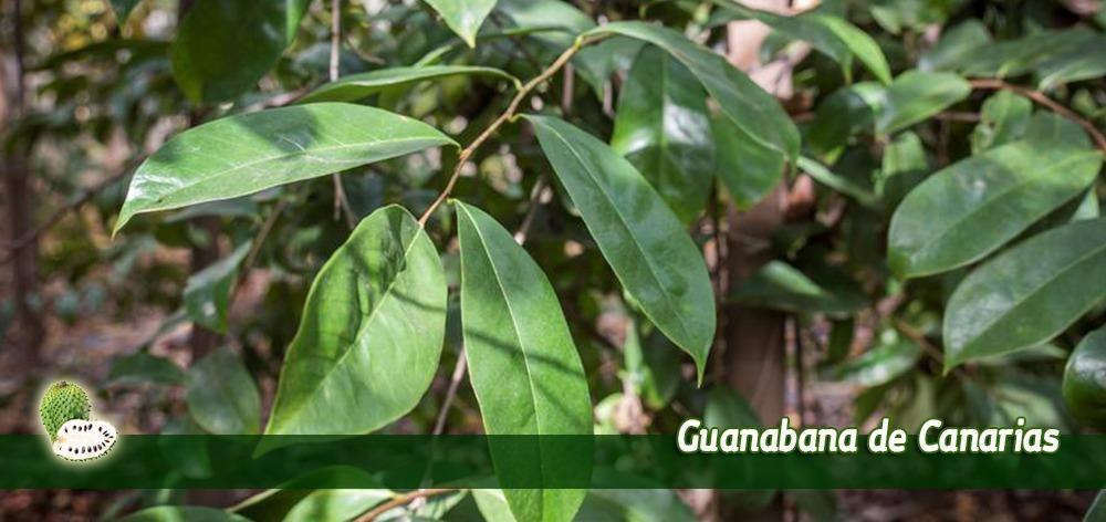 cultivos de guanabana graviola y noni de canarias