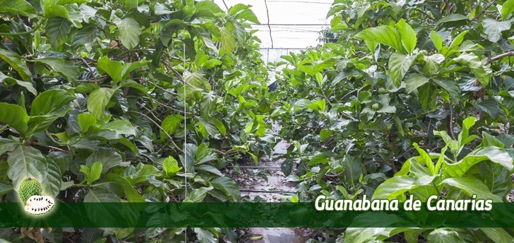 Huertas Guanabana Noni Graviola en Tenerife